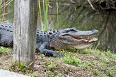 American alligator in the Everglades National Park. Close-up of the body and the big mouth and teeth. — Stock Photo