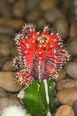 Cactus close-up — 图库照片
