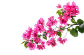 Bougainvillea isolated — Stock Photo