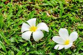 Caduta di fiore plumeria — Foto Stock