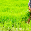 Farmers preparing rice seedlings — Stock Photo
