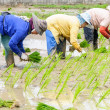 Farmers working transplanting rice seedlings — Stock Photo