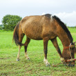 Brown horse eating — Stock Photo