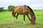 Brown horse eating — Foto Stock