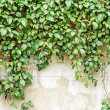Creeper climbing on the wall — Stock Photo