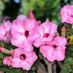 Adenium obesum flowers — Stock Photo #30032503