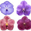 Vanda orchid flowers isolated — Stock Photo