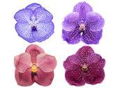 Vanda orchid flowers isolated — Stock Photo