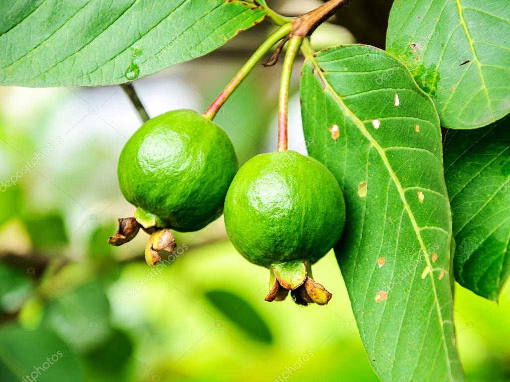 be fruitful and multiply guava fruit