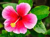 Rosa hibiskus blommor — Stockfoto