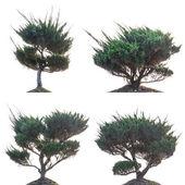 Pine tree isolated — Stock Photo