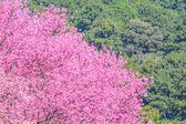 野生喜马拉雅山樱桃花 — 图库照片