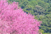 Flor de cerezo silvestre himalayan — Foto de Stock