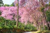 Flor de cereja selvagem himalayan — Foto Stock