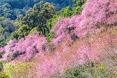 Wild Himalayan Cherry flower — Stock Photo