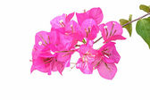 Pink bougainvillea isolated  — Stock Photo