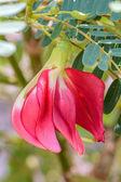 Flower of Agasta  — Stock Photo
