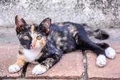 Cute thai cat — Stock Photo