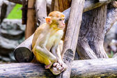 Young Rhesus macaque. — Stock Photo