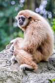 Gibbon lar. — Foto Stock