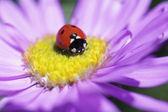 Ladybug on a purple daisy — Stock Photo
