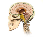 Human skull cutaway, with all brain details, mid-sagittal side v — Stock Photo