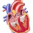 Human heart cross section. — Stock Photo #25634453