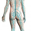 Stock Photo: Humnervous system diagram.