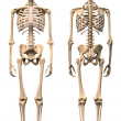 Male Human skeleton, two views, front and back. — Stock Photo