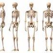 Male Human skeleton, four views, front, back,side and perspectiv — Stock Photo #25637409
