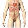 Постер, плакат: Man anatomy internal organs with the heart spotted Clipping pa