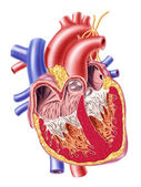 Human heart cross section. — Stock Photo