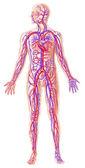 Human circolatory system cross section — Stock Photo