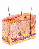 Lidská kůže část diagramu — Stock fotografie