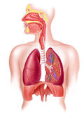 Human full respiratory system cross section. — Stock Photo