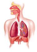 Human full respiratory system cross section. — Stock Photo