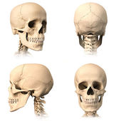 Human skull, four views. — Stock Photo