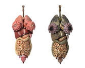 Photorealistic 3D rendering, of Female full internal organs, fro — Stock Photo