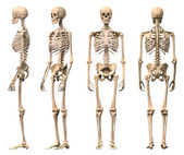 Male Human skeleton, four views, front, back,side and perspectiv — ストック写真
