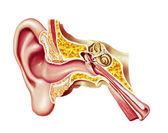 Mänskliga örat cutaway diagram. — Stockfoto