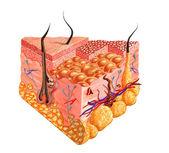 Schemat przekrój ludzkiej skóry, z kilku szczegółów. — Zdjęcie stockowe