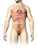 Man anatomie interne organen, met het hart gespot. knippen pa — Stockfoto
