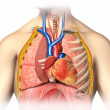 Man anatomy thorax cutaway with heart with main blood veins and — Stock Photo