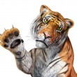Tiger close up, facing the viewer, with the right hand up and cl — Stock Photo
