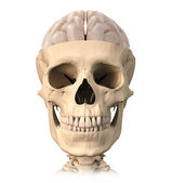 Human skull cutaway, with half brain shown on top, front view. — Stock Photo