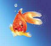 Gold fish facing the viewer, with some water bubbles, on blue gr — Stock Photo