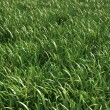 Grass meadow, close view. — Stock Photo