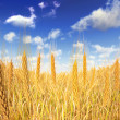 Golden Wheat field. A few wheats in foreground and blue sky with — Stock Photo