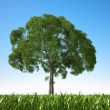Stock Photo: Close up view of an isolated tree in a grass field.