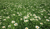 Grass meadow, bird eye view, plenty of daisy flowers. — Stock Photo